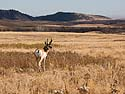 Pronghorn, Custer State Park, October.
