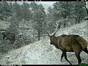 Elk with snow on its antlers, trailcam photo from Nov. 10, 2012, Wind Cave National Park, South Dakota.
