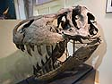 The Tyrannosaurus Rex skull is too heavy to mount on the skeleton, so this is Stan's skull, Black Hills Institute, Hill City, October.