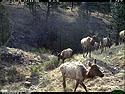 Trailcam picture of elk, Wind Cave National Park, April 25.