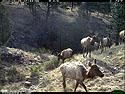 Trailcam picture of elk, Wind Cave National Park, April 25.