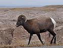 Bighorn sheep in South Dakota Badlands, October.  This is a different sheep than the prior two images and the snow isn't evident.