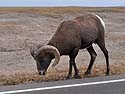 Bighorn sheep in South Dakota Badlands, October.