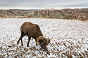 Bighorn sheep in South Dakota Badlands after an October snow.  I was on the wrong side of the car so I passed the camera to my future fianc� Sue, who took this shot.