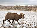 Bighorn sheep in South Dakota Badlands after an October snow.  I was on the wrong side of the car so I passed the camera to my friend Sue, who took this shot.