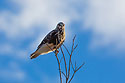 Rough-legged hawk, Squaw Creek National Wildlife Refuge, Missouri, December.