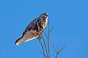 Rough-legged hawk, Squaw Creek National Wildlife Refuge, Missouri, December.