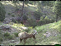 Trailcam picture of elk, Wind Cave National Park, May 22.