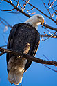Bald eagle, Squaw Creek National Wildlife Refuge, Missouri, December.