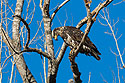 Bald eagle (juvenile) eating something, Squaw Creek National Wildlife Refuge, Missouri, December.