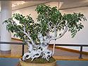 Ornamental Fig Bonsai, Brooklyn Botanic Garden, April 2012.