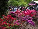 Azaleas and some of the Sakura Matsuri festivities, Brooklyn Botanic Garden, April 2012.