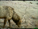 Elk, trail camera in Wind Cave National Park, February 2012.