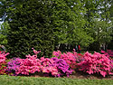 Azaleas, Brooklyn Botanic Garden, April 2012.