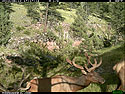 Trailcam picture of elk, Wind Cave National Park, June 12.