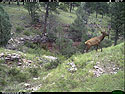 Trailcam picture of elk, Wind Cave National Park, July 7.