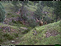 Trailcam picture of elk, Wind Cave National Park, July 11.