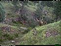 Trailcam picture of elk, Wind Cave National Park, July 11.