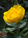 A yellow rose grows on 2nd Avenue, New York, May 2012.