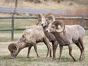 Bighorns, Custer State Park, April 2012.