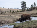 Bison getting a drink, Wind Cave National Park, April 2012.