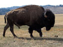 Bison, Wind Cave National Park, April 2012.
