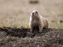 Prairie dog, Wind Cave National Park, April 2012.
