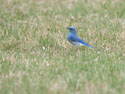 Mountain Bluebird, Custer State Park, April 2012.