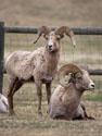 Bighorns, Custer State Park, April 2012.