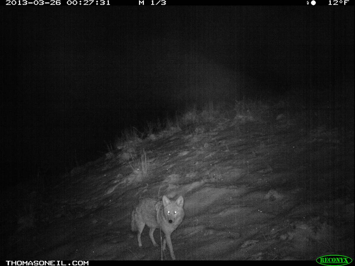 Coyote on trail camera, Wind Cave National Park, South Dakota, March 26, 2013.