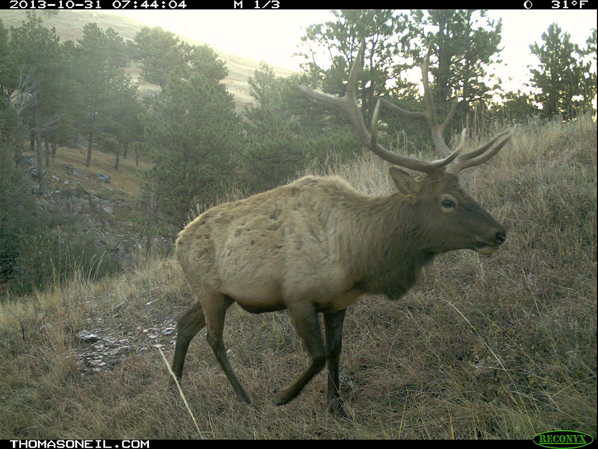Elk on trail camera, Wind Cave National Park, South Dakota, Oct. 31, 2013.  Click for next photo.
