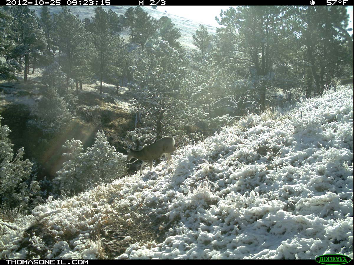Deer in the snow, trailcam photo from Oct. 25, 2012, Wind Cave National Park, South Dakota.