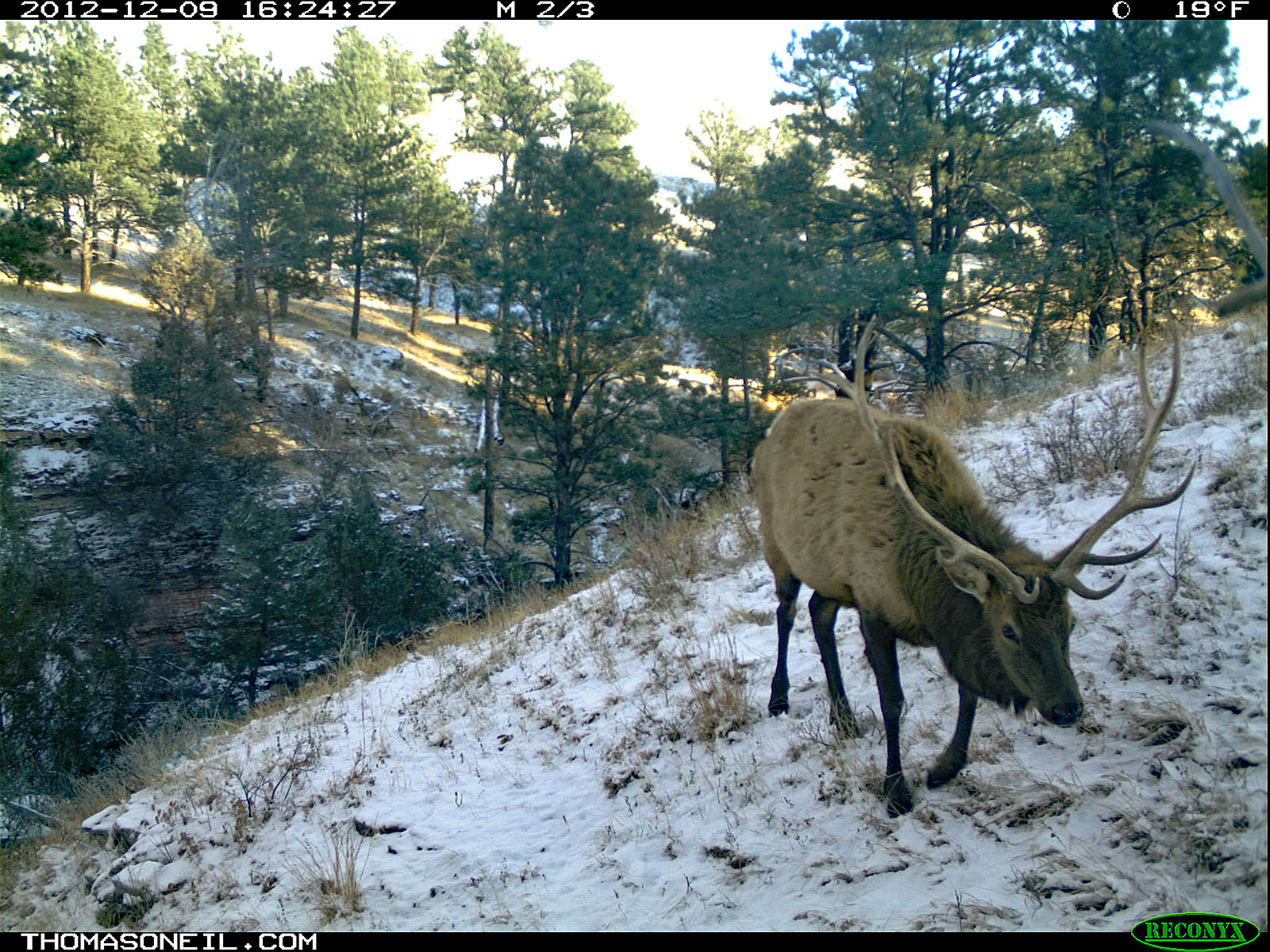 Elk, trailcam photo from Dec. 9, 2012, Wind Cave National Park, South Dakota.