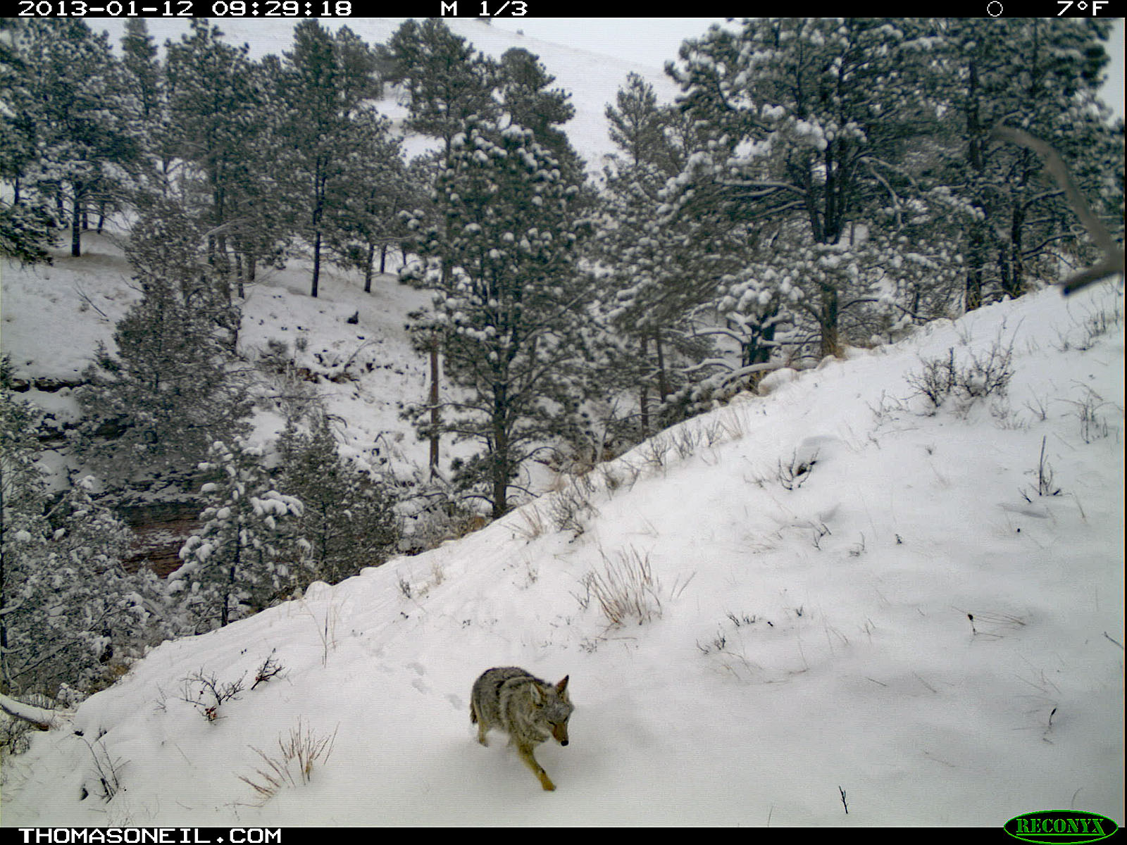 Coyote trudges through the snow, trailcam photo from Jan. 12, 2013, Wind Cave National Park, South Dakota.  Click for next photo.