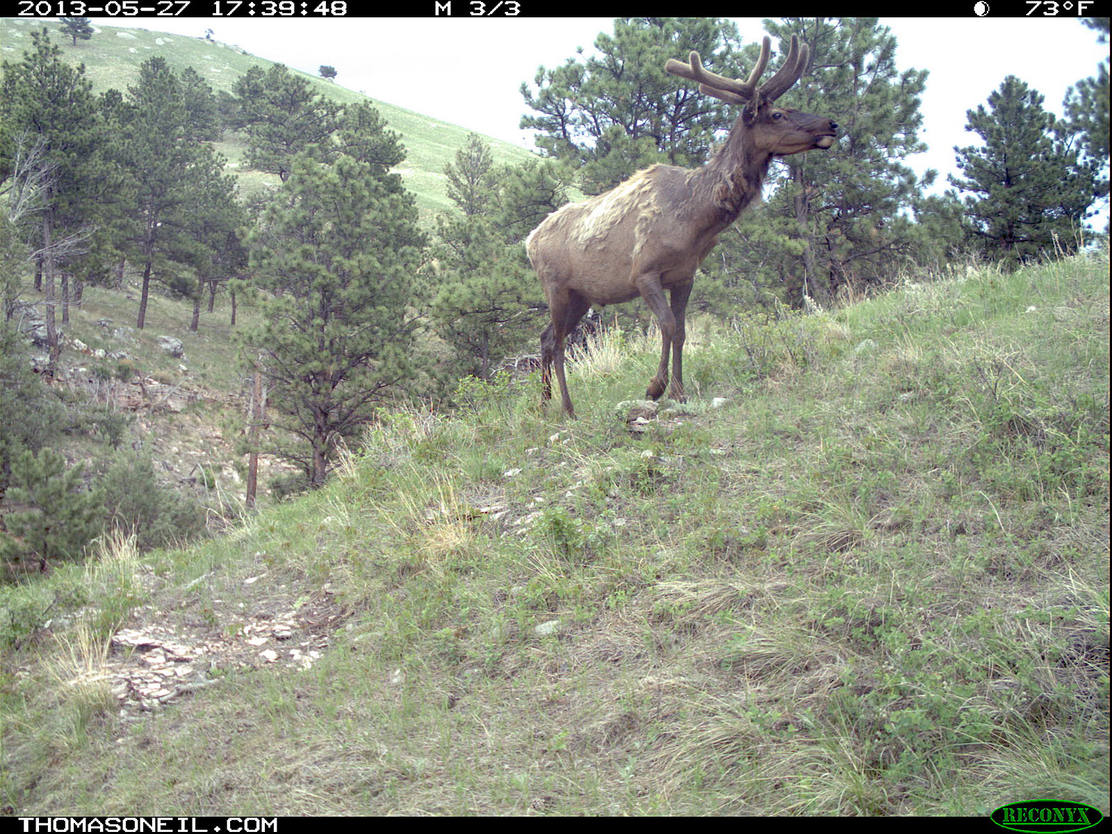 Elk on trail camera, Wind Cave National Park, South Dakota, May 27, 2013.