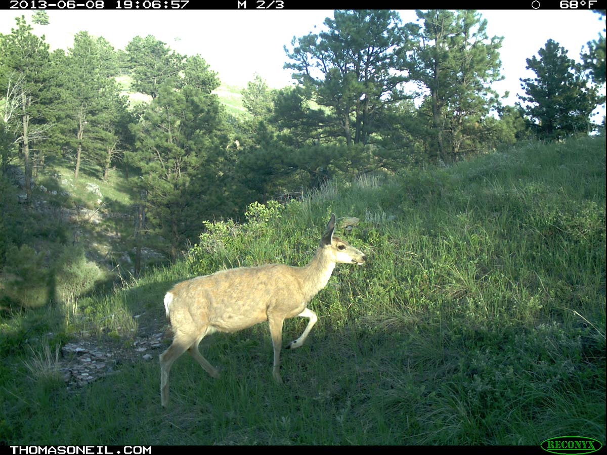 Deer on trail camera, Wind Cave National Park, South Dakota, June 8, 2013.  Click for next photo.