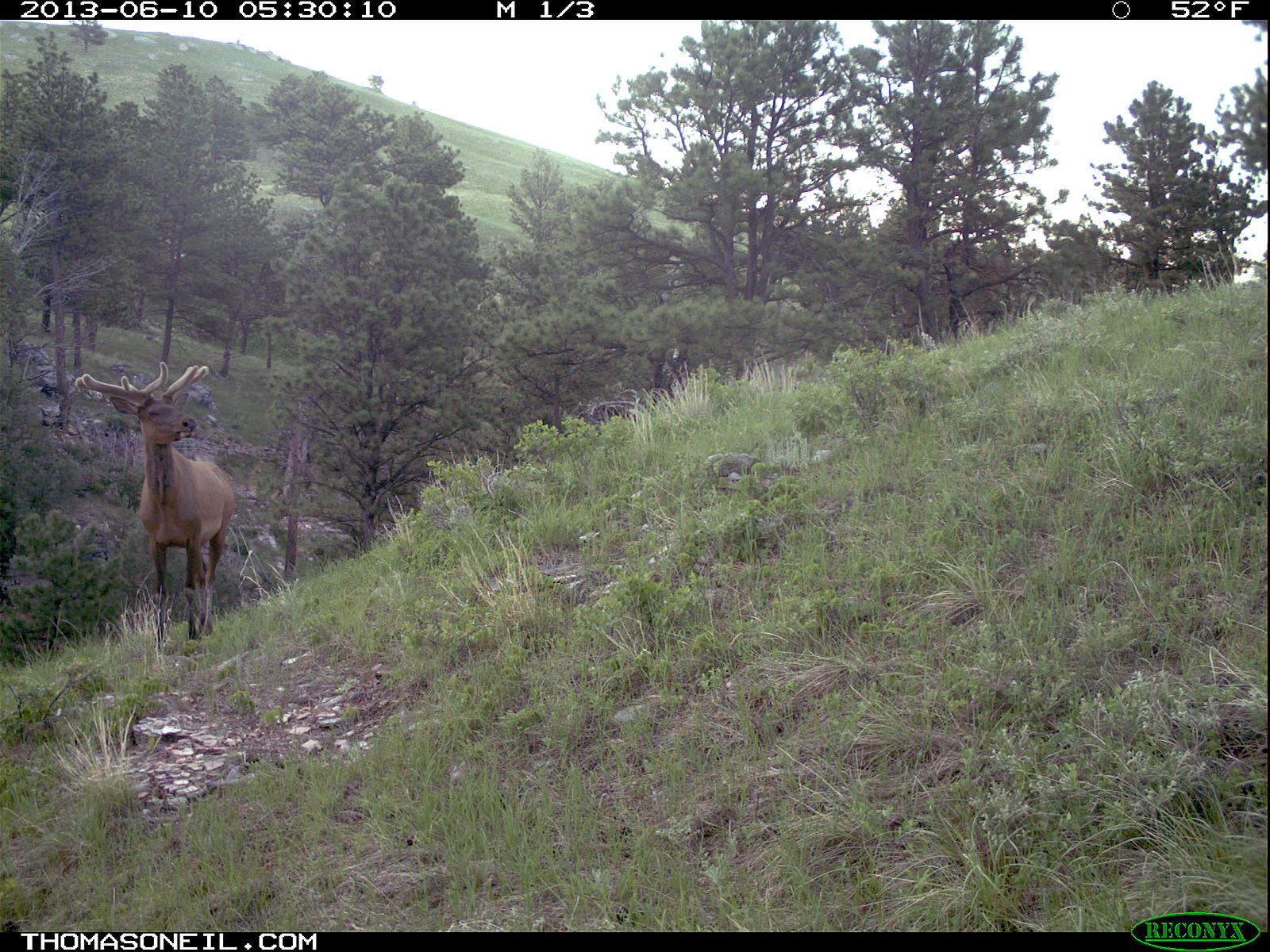 Elk on trail camera, Wind Cave National Park, South Dakota, June 10, 2013.  Click for next photo.