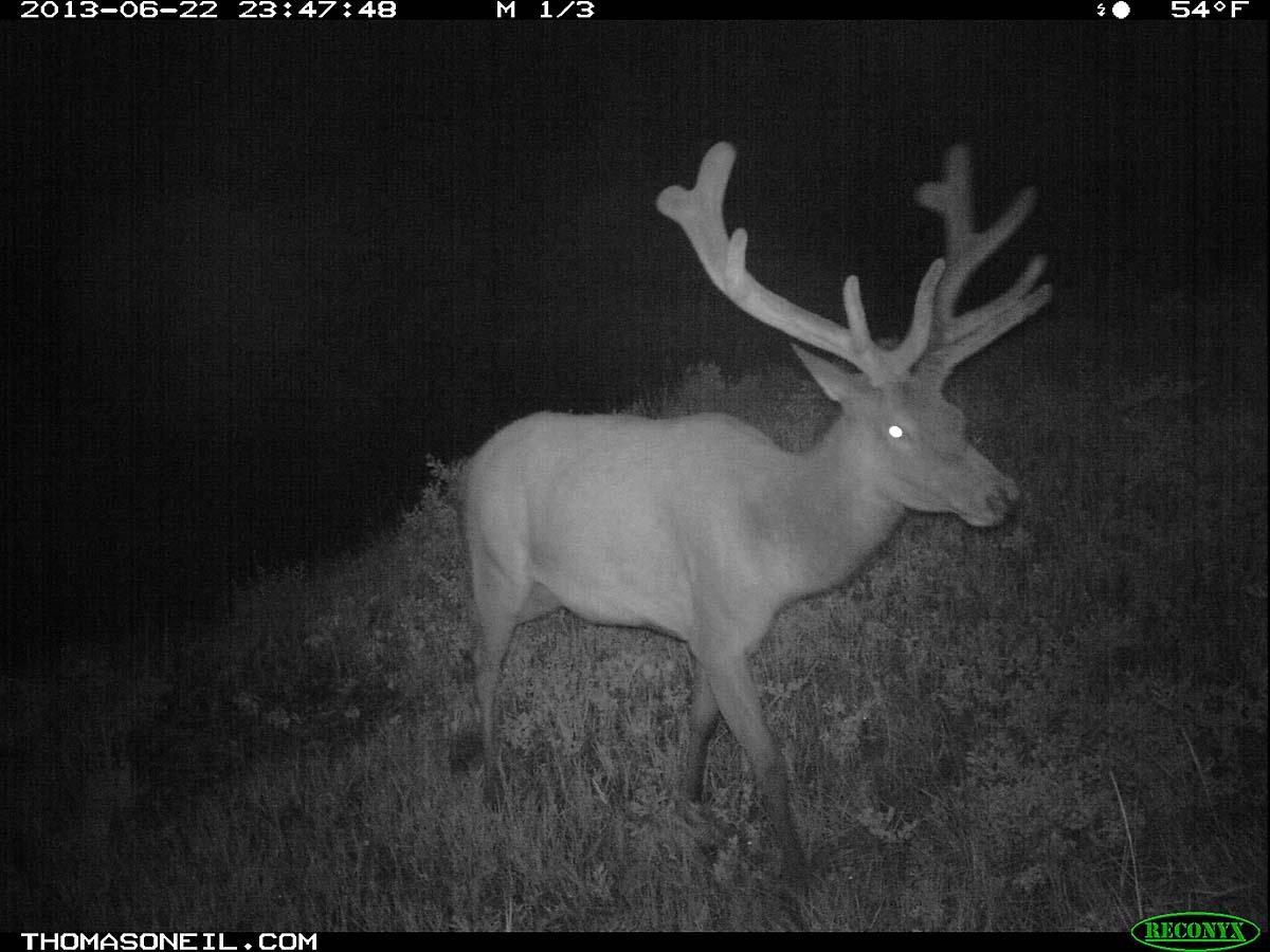 Elk on trail camera, Wind Cave National Park, South Dakota, June 22, 2013.