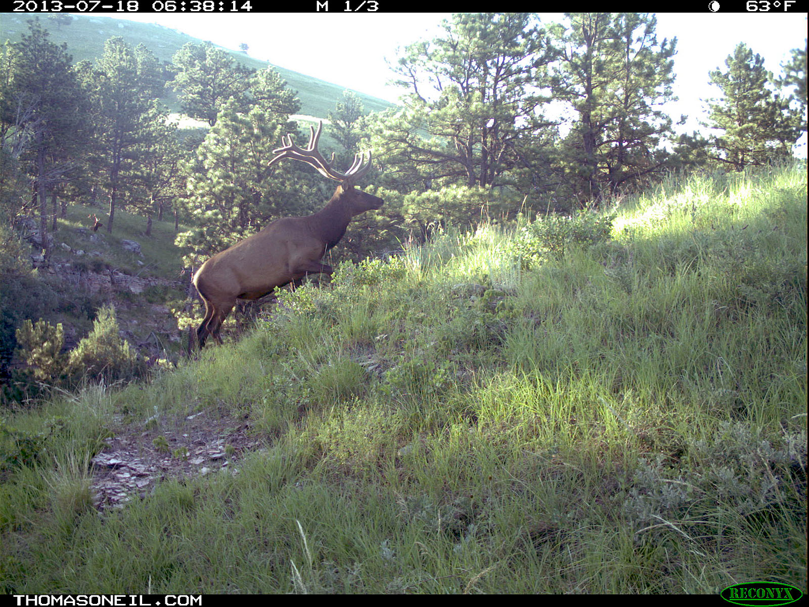 Elk on trail camera, Wind Cave National Park, South Dakota, July 18, 2013.  Click for next photo.