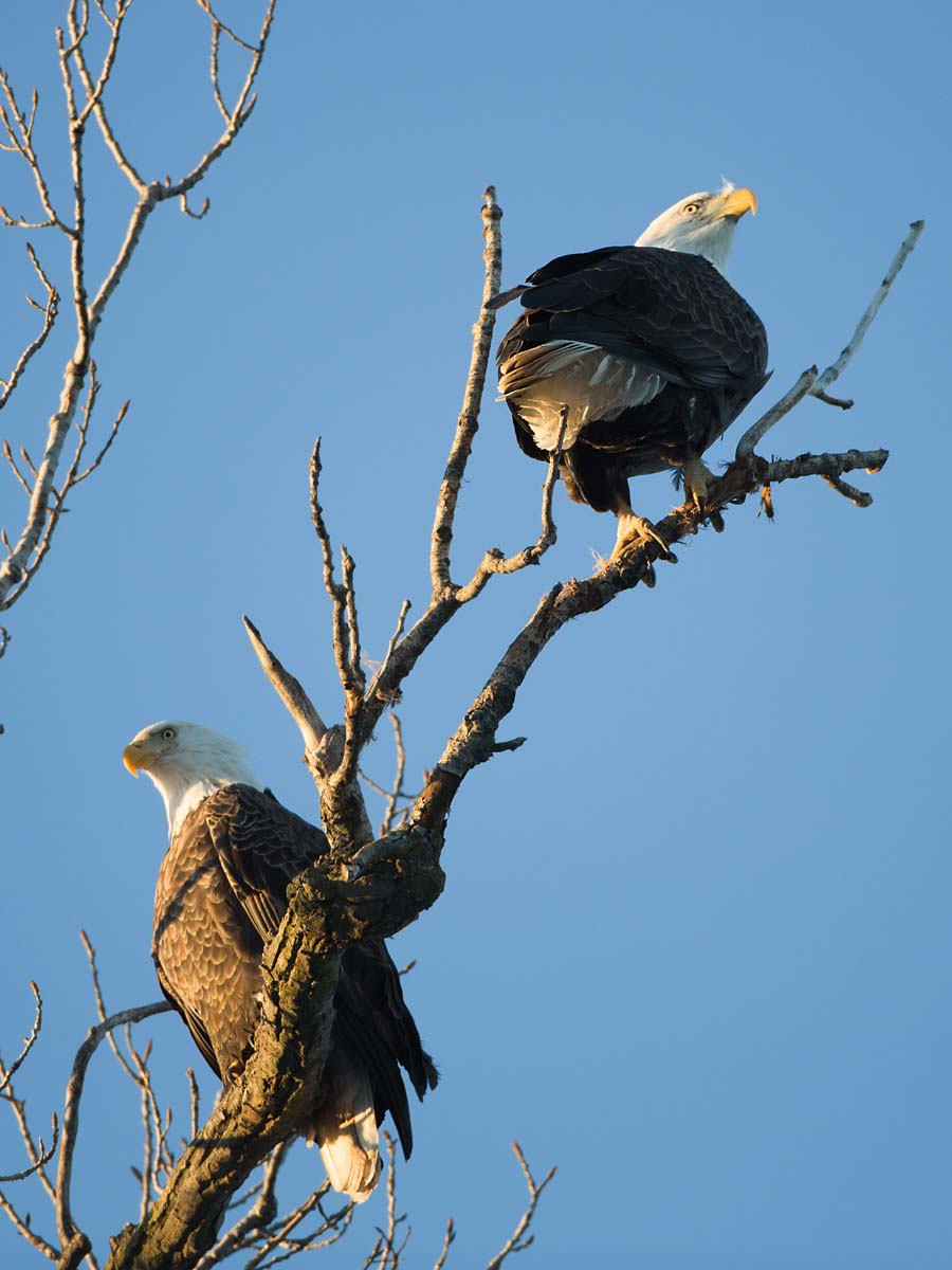 Bald eagles roosting at sunset, Hamilton, Illinois, January 2013.  Click for next photo.
