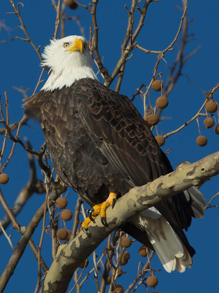 Bald eagle, Ft. Madison, Iowa, January 2013.  Click for next photo.