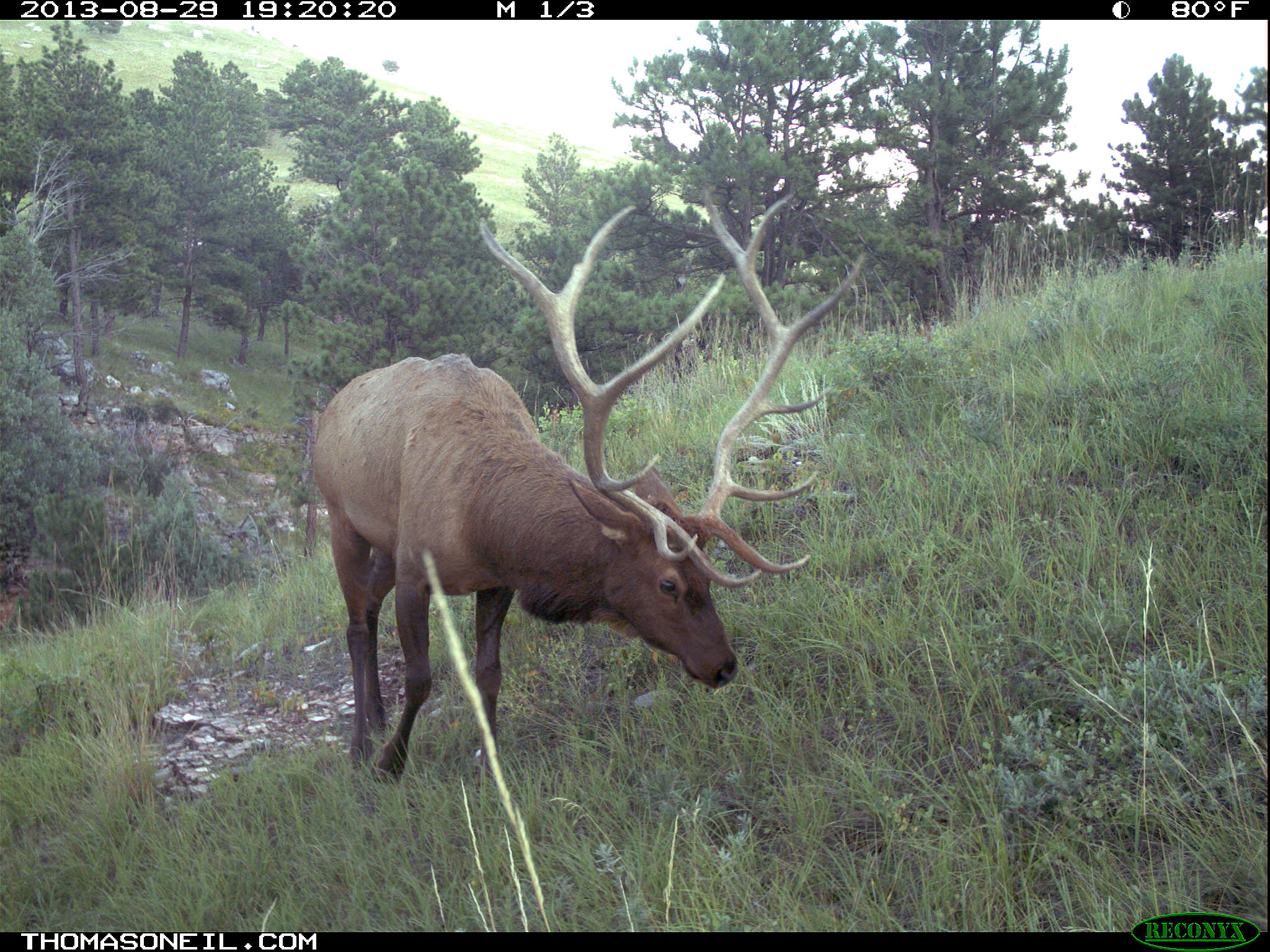 Elk on trail camera, Wind Cave National Park, South Dakota, August 29, 2013.  Click for next photo.