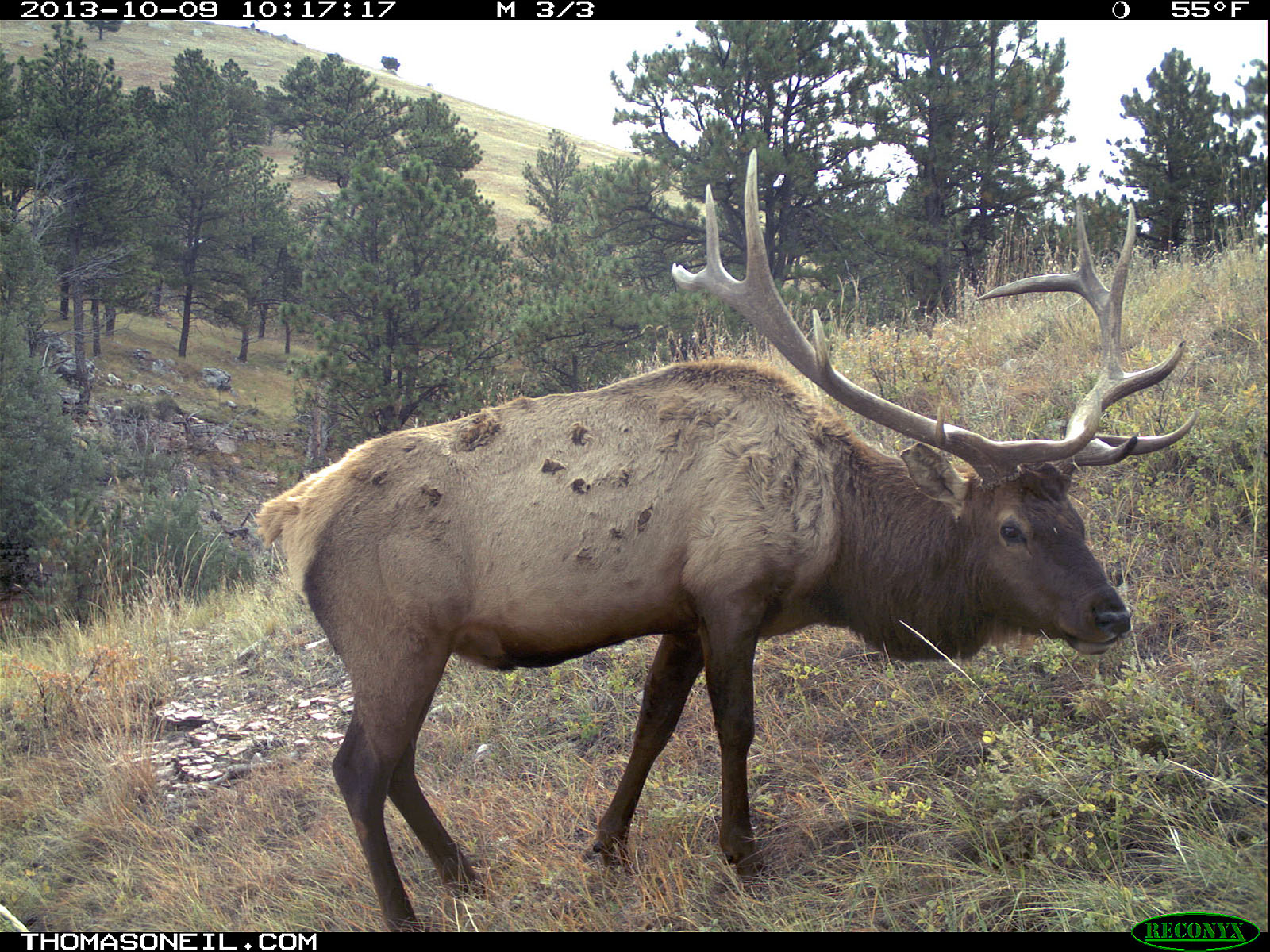 Elk on trail camera, Wind Cave National Park, South Dakota, Oct. 9, 2013.  Click for next photo.