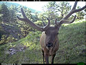 Lopsided antlers, elk on trail camera, Wind Cave National Park, South Dakota, June 6, 2013.