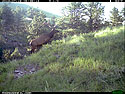 Elk on trail camera, Wind Cave National Park, South Dakota, July 18, 2013.