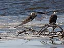 Bald eagles on the frozen Mississippi River shore, Ft. Madison, Iowa, January 2013.