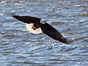 Bald eagle over the Mississippi River, Ft. Madison, Iowa, January 2013.