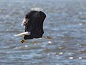 Bald eagle on the frozen Mississippi River shore, Ft. Madison, Iowa, January 2013.