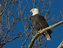 Bald eagle, Ft. Madison, Iowa, January 2013.