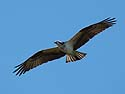 Osprey, Honeymoon Island State Park, Florida.
